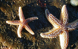 Starfish Out Sider